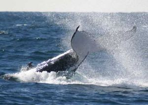 Whale Watching Sydney - Accommodation Mermaid Beach
