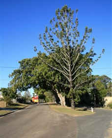 Anzac Avenue Memorial Trees Beerburrum - Accommodation Mermaid Beach