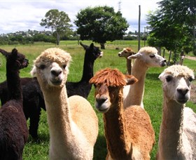 Banyandah Alpacas - Accommodation Mermaid Beach
