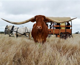 Texas Longhorn Wagon Tours and Safaris - Accommodation Mermaid Beach