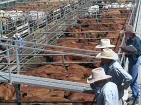 Dalrymple Sales Yards - Cattle Sales - Accommodation Mermaid Beach