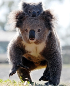 Koalas in Gunnedah - Accommodation Mermaid Beach