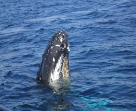 Jervis Bay Whales - Accommodation Mermaid Beach