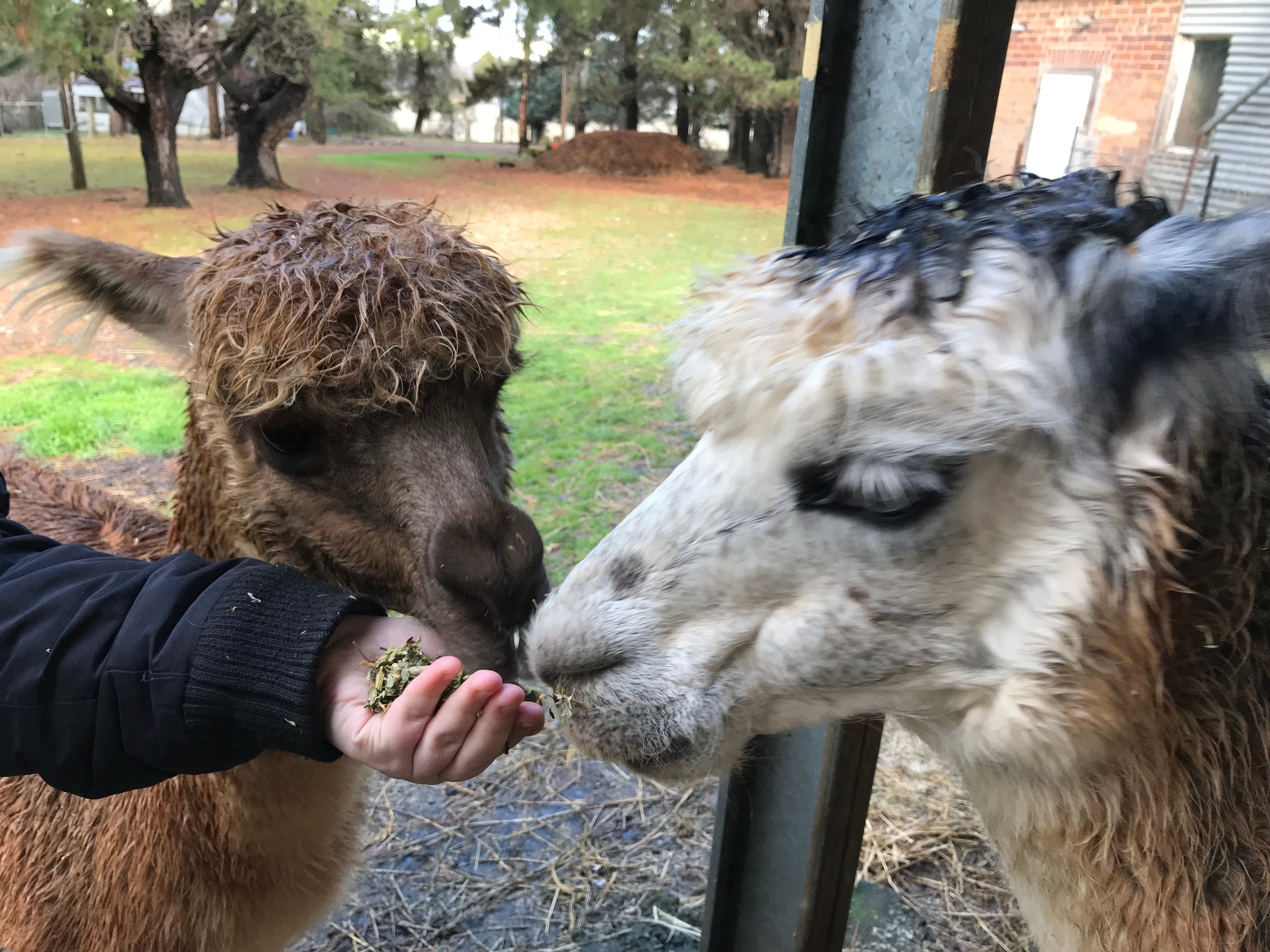 Alpaca Farm Experience at Crookwell - Accommodation Mermaid Beach