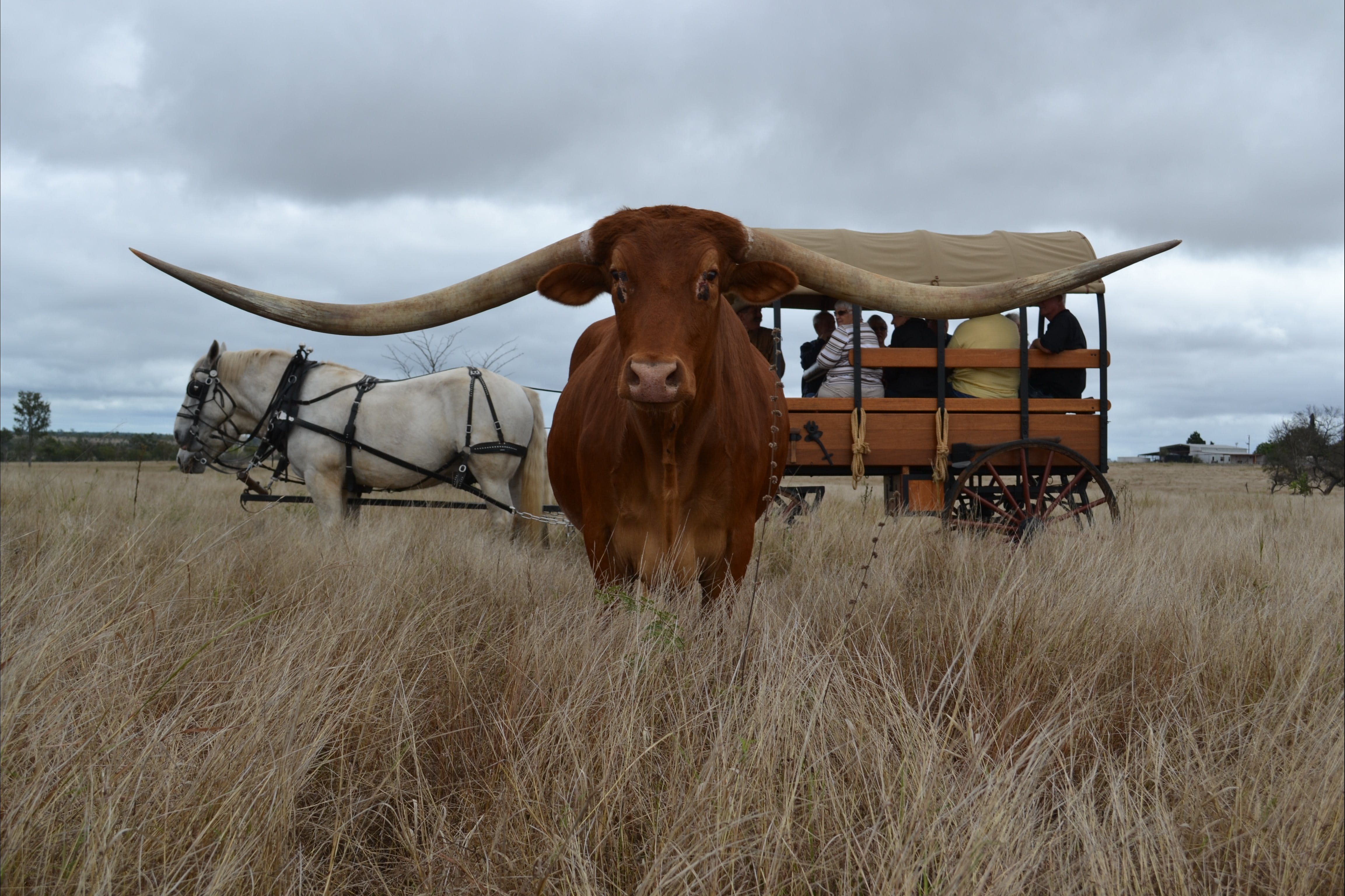 Texas Longhorn Tours - Accommodation Mermaid Beach